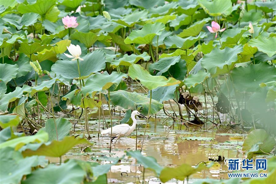 7月9日,一只白鹭在福州金山公园内的荷塘中觅食。新华社记者 姜克红 摄