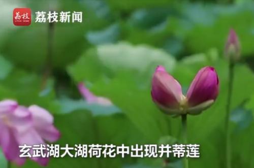 南京玄武湖罕见再现并蒂莲图片详情 并蒂莲奇景是如何形成的?