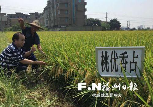 今☆年水稻大丰收 农民为长乐区助农好政�策点赞