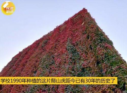 西安理工一教学楼30年爬满爬山虎层层叠叠美得不像话【图】