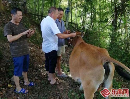 """为争夺牛的归属权 莆田两农户给牛做""""亲子鉴定"""""""