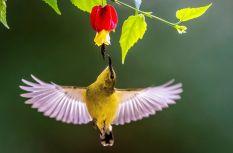 福建福州:叉尾太阳鸟冬季采蜜忙