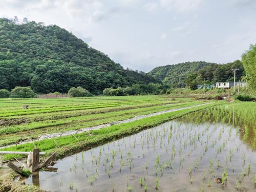 2020年5月9日,上蕉村林崗地稻田養魚基地125畝 (本報記者 吳鵬 通訊員 陳躍杰)