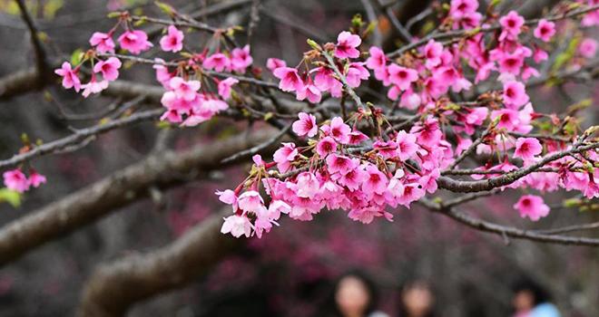 福州國家森林公園:櫻花相繼開 賞櫻正當時