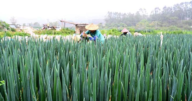 福建漳浦:春季大蔥采收忙