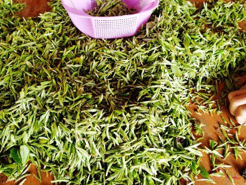 春分起政和白茶陆续开采3月25日举办开茶节活动