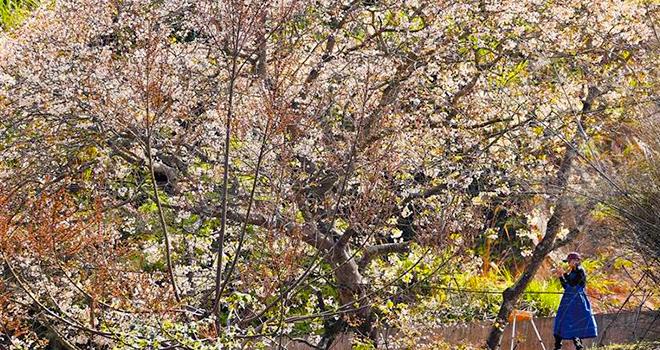 泉州:油桐花又開 等你入畫來