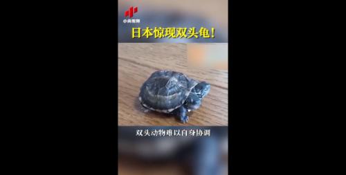 日本基因突变双头龟是怎么产生的?日本基因突变双头龟引热议
